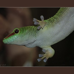 Madagascar gekko