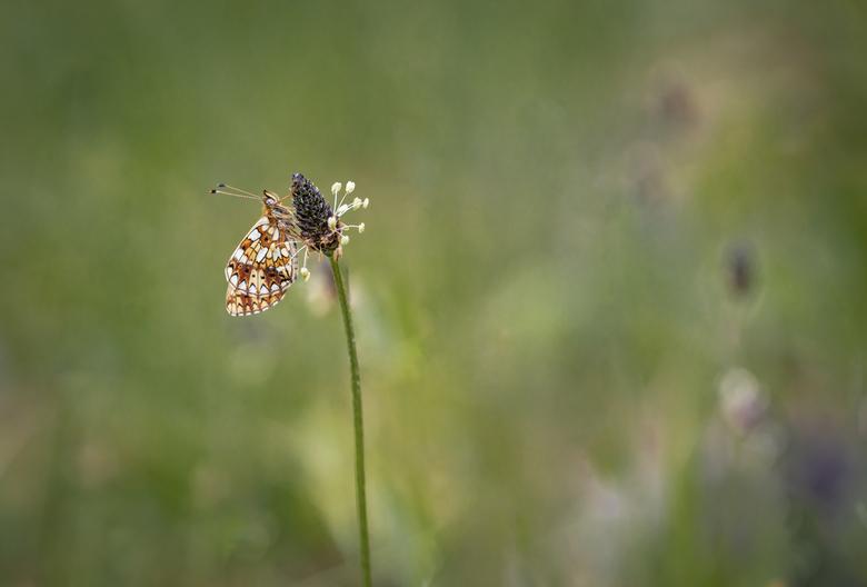 Zilveren maan - Blijft voor mij een fotogeniek vlindertje. Ten opzichte van laatste opname van deze vlinder, is deze gemaakt in een ander gebied. <br