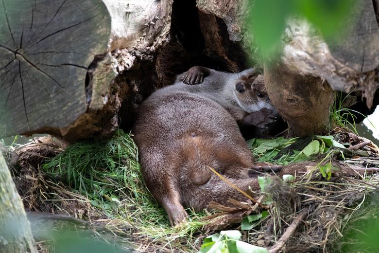Luie Otter -