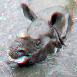 Indian Rhinoceros (Indische neushoorn) in water Blijdorp Zoo Rotterdam 3D
