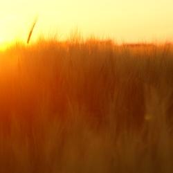 Sunset Wheat II