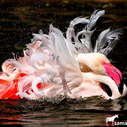 Flamingo's moeten ook in bad