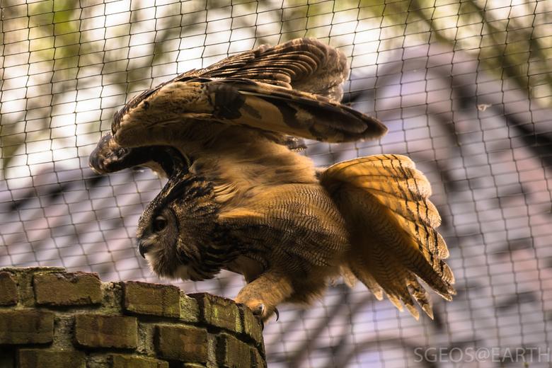 Uil spreid vleugels - Uil zat een hele tijd stil, maar begon op een gegeven moment zijn vleugels te spreiden. Mooi moment om een foto te nemen....