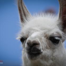 My friend Lama