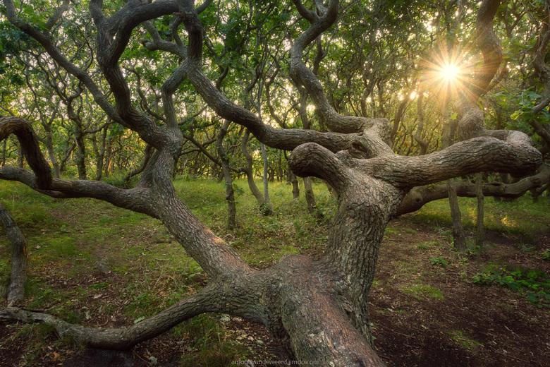 Reach for the Light - Dit eikenbos ligt vlakbij de kust in Domburg. Door de zoute zeelucht groeien de bomen hier niet heel hoog, eerder groeien zij in