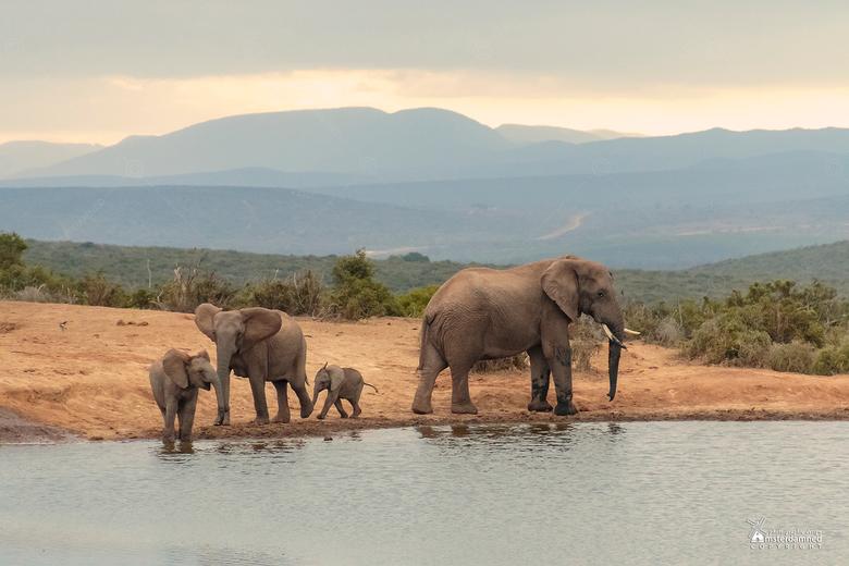 Zuid-Afrika - Addo Elephant National Parc in Zuid-Afrika. <br /> <br /> Olifanten, olifanten en nog eens olifanten. Rond de middag drinken, stoeien