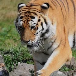 tijgertje