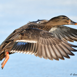 Flying Duck ..............