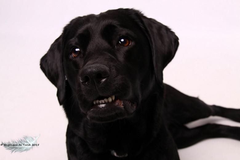 Jessie  - Gister even in de fotostudio van mijn vriend onze labrador op de foto gezet.