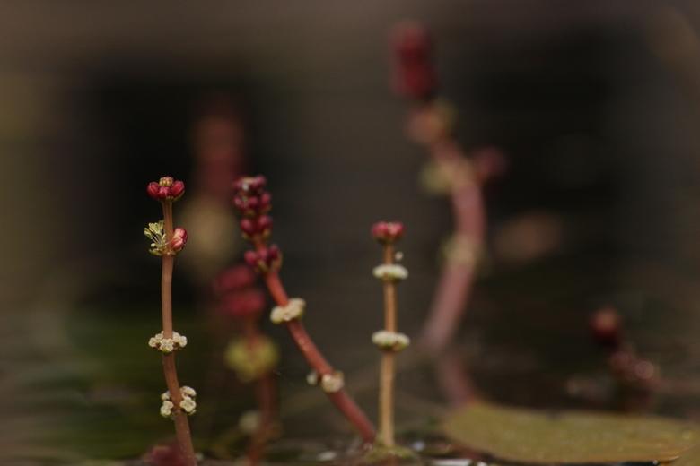 bloeien in de vijver - een foto van de bloeiende lelies in onze vijver