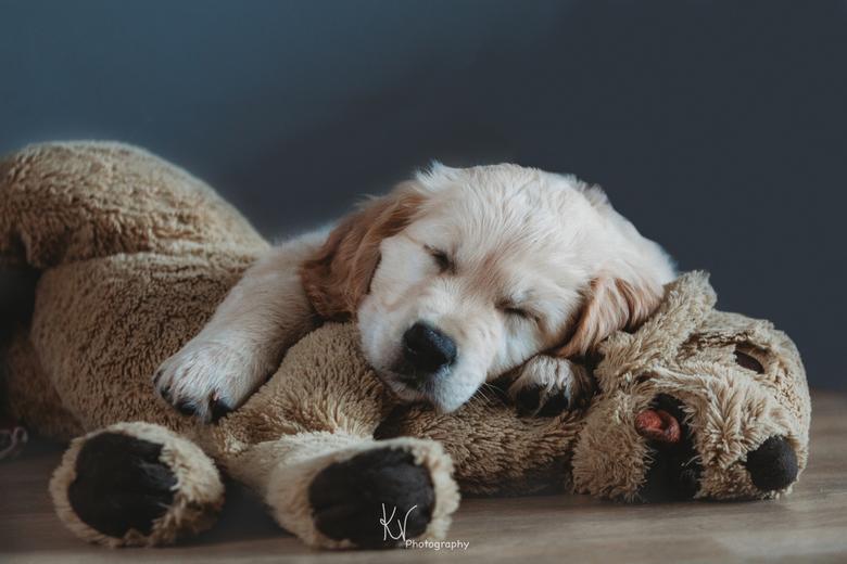 Service Puppy Ygor - Deze puppy wordt opgeleid tot hulphond. Maar eerst nog even een fotoshoot van zijn puppytijd! Wat wordt je moe zeg, van model zij