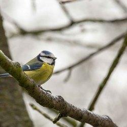 Vogels in de tuin Pimpelmees