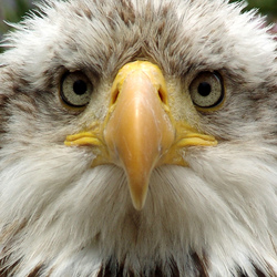 Eagle hypnosis