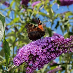 Een vlinder op een vlinderstruik