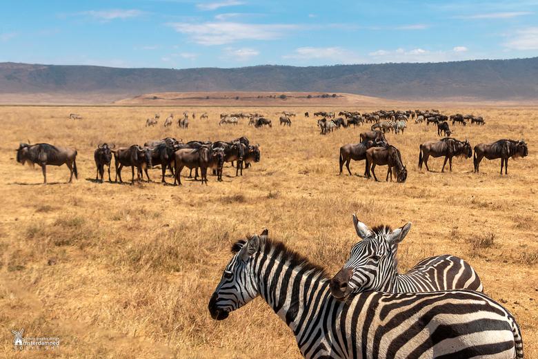 Tanzania - Gnoes of wildebeesten (Connochaetes) en zebra's op de voorgrond in de Ngorongoro Crater tijdens een safari in Tanzania.
