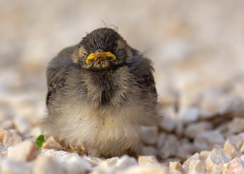 Goede morgen.... - Een nestje kwikstaartjes in de tuin en dan op een dag staan ze onverwacht voor je in het grind.<br /> Toch maar even vastleggen.<b