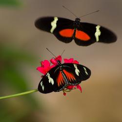 Inkomende vlinder