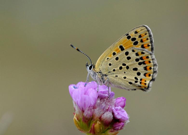 Bruine vuurvlinder - bruine vuurvlinder  (Lycaena tityrus)<br /> <br /> <br /> De bruine vuurvlinder is een schaarse standvlinder die in Nederland