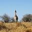 Giraffe ZA