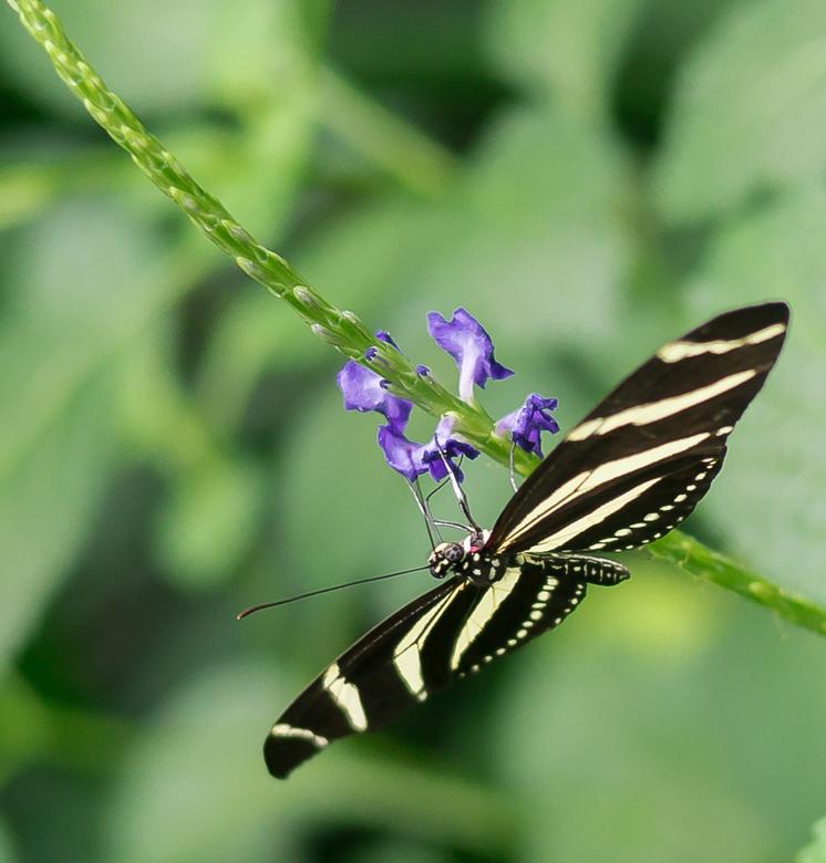 Paragliding   Zebravlinder (Heliconius chartionius) - Voor de afwisseling nog een vlindertje uit Artis. Wat een druk vlindertje zat geen moment stil,