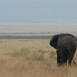 Olifant in Ngorongoro