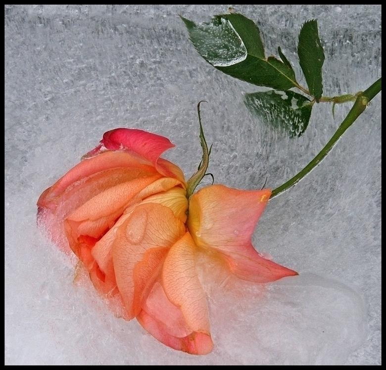 frozen beauty!... -  fijn weekend allemaal..<br /> _________<br /> en mijn dank voor de comments<br /> op de vorige upload