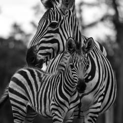Zebra Zwart Wit