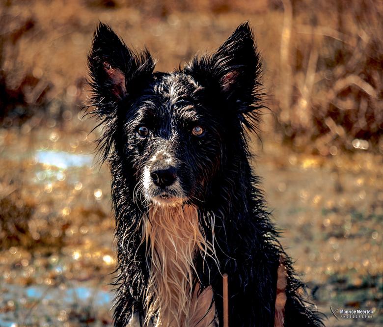 Bordercollie Rocky na een zwempartij