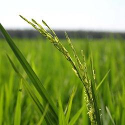 Rijstplantje Maleisië