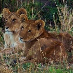 leeuwen masai mara