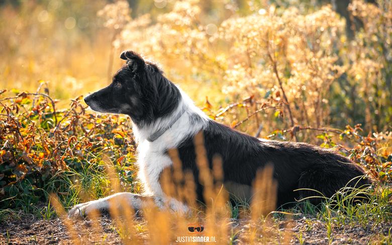 Schaapshond op Texel. - Tijdens een mooi zonsopkomst in september 2019 ga ik mee met de schaapsherder op Texel om een paar mooie platen te schieten, o