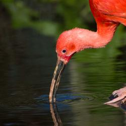 Starende Rode Ibis