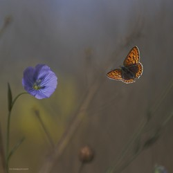 Vlindervlucht