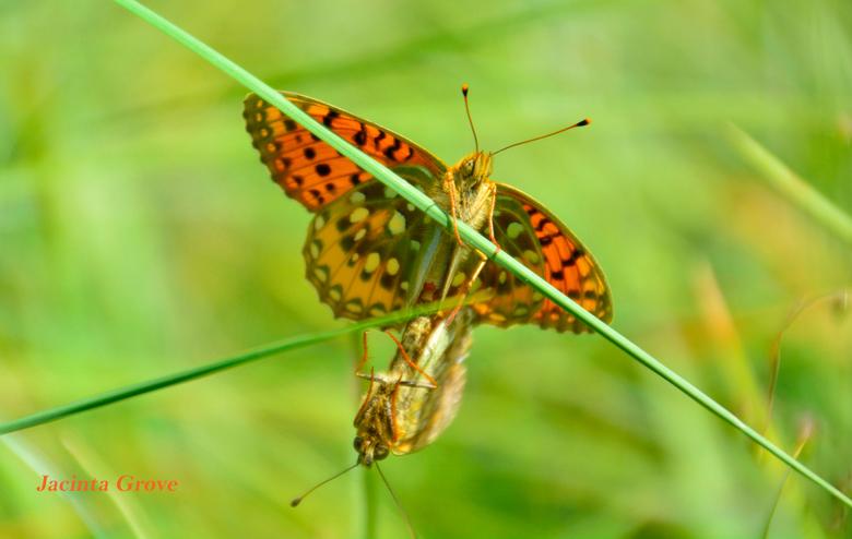 Parend vlinderstelletje