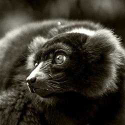 Lemur in Artis