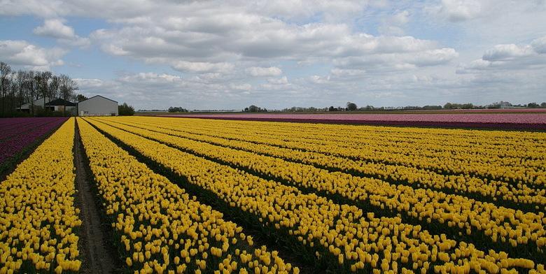 Voorjaar - Tulpen in de Noordoostpolder.<br /> voor de kwaliteit effies groot lijken.<br /> <br /> 2 mei 2015.<br /> Groetjes, Bob.