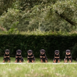 Een groepje Rottweiler puppies