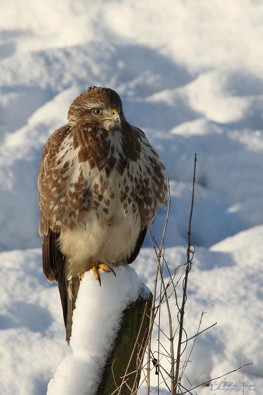 """Buizerd in de sneeuw - <a href=""""http://www.willdekleijn.nl/"""">http://www.willdekleijn.nl/</a>"""