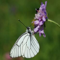 Vlinder, Groot geaderd witje