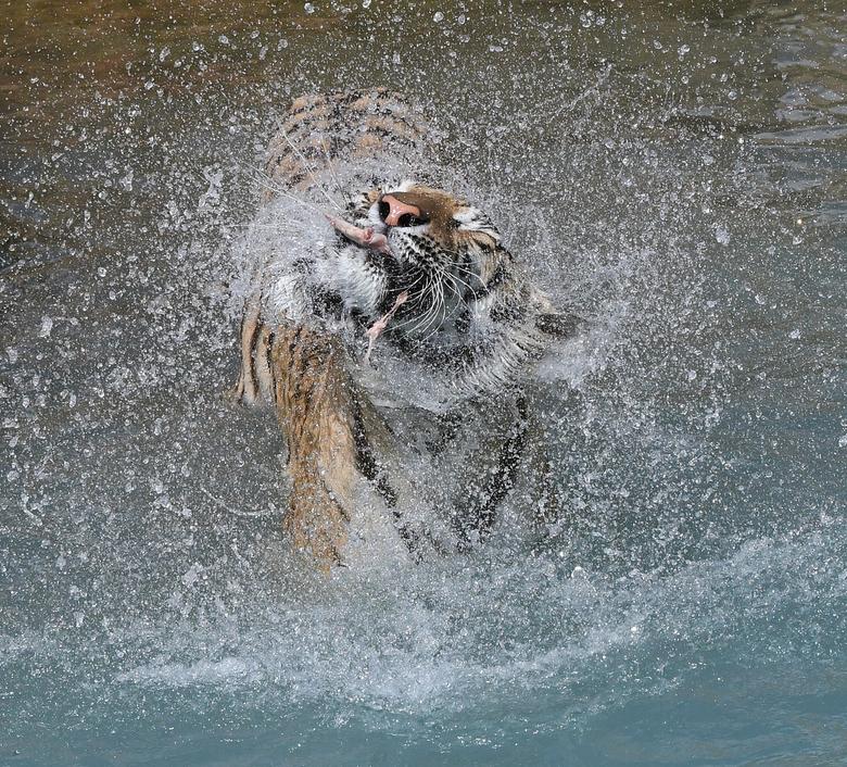 spetterdespet - De voederdemonstraties van de Bengaalse tijgers in de zoo Terra Natura Benidorm staan -bijna- garant voor spectaculaire foto&#039;s.<b