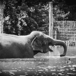 Olifant zoekt verkoeling