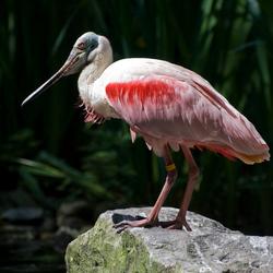 Roze lepelaar