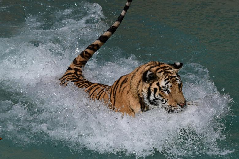 geen watervrees - Katten hebben een bijna spreekwoordelijke afweer van water. Maar er zijn wel een paar uitzonderingen. Zo halen de platkopkat en de v