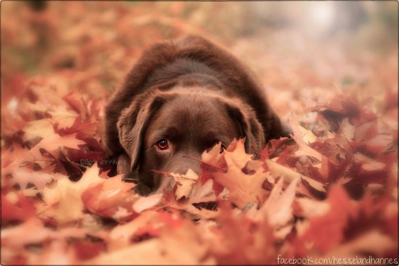 Peek-a-boo! - Ook nog een foto van mijn andere hond Hessel, tussen de herfstbladeren.<br />