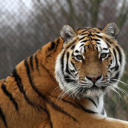 What''s on a tigers mind