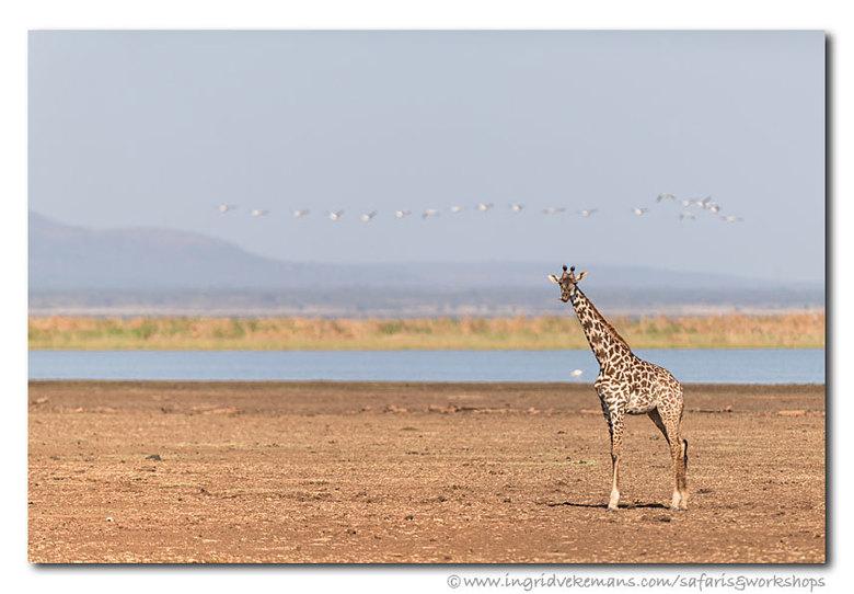 Manyara Dwellers - Masai giraffe en pelikanen bij Lake Manyara, Tanzania.