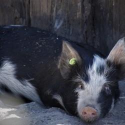 een varken