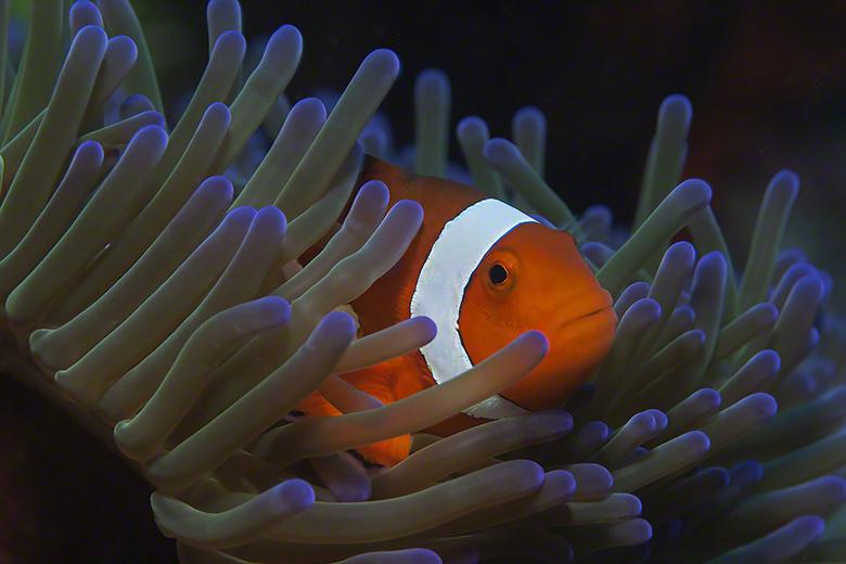 Eastern Clownfish - Echte Eastern Clownvis ( met zwarte streep om de witte band.