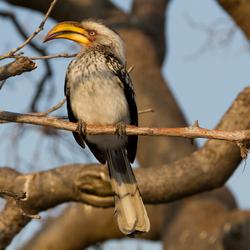 Yellowbilled Hornbill Botswana