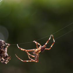 Parende kruisspinnen